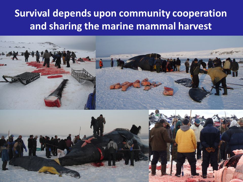 Survival depends upon community cooperation and sharing the marine mammal harvest