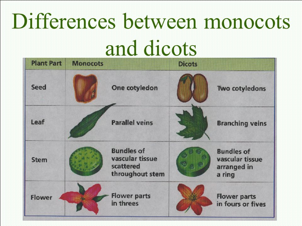 10 Example of Dicot Seeds - Bing images 10 Examples Of Monocot Plants