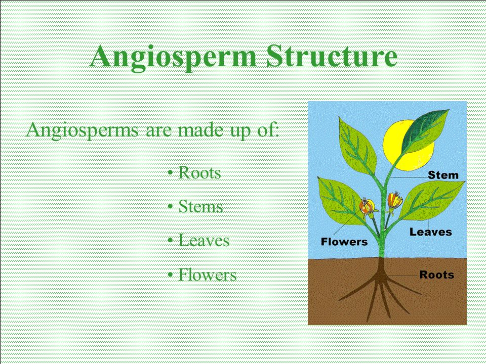 Angiosperm Structure Angiosperms are made up of: Roots Stems Leaves
