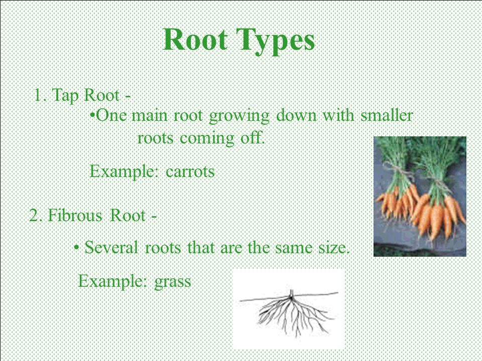 Root Types 1. Tap Root - One main root growing down with smaller roots coming off. Example: carrots.