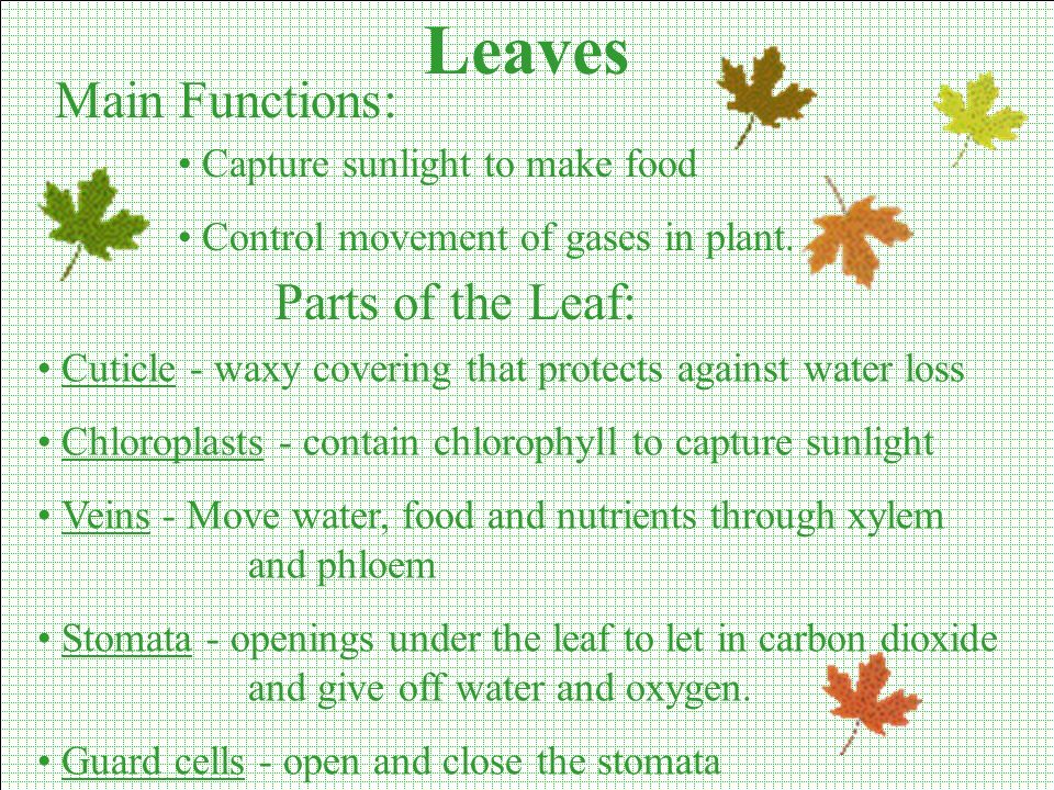 Leaves Main Functions: Parts of the Leaf: