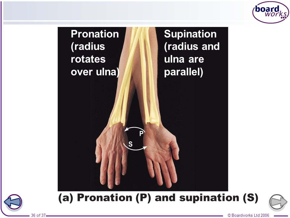 Supination (radius and. ulna are. parallel) (a) Pronation (P) and supination (S) Pronation. (radius.