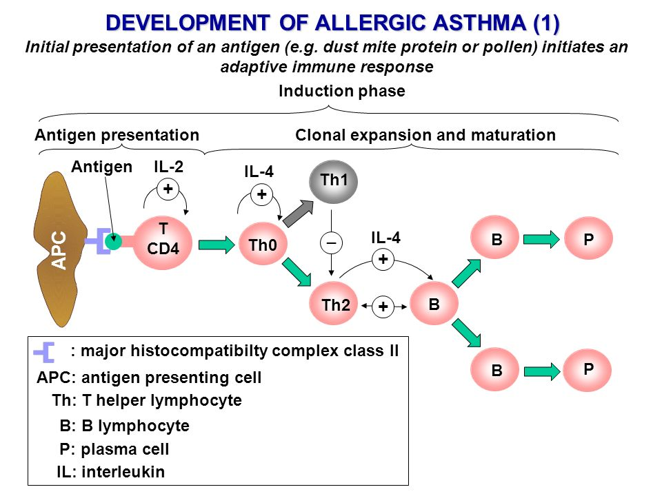 DEVELOPMENT OF ALLERGIC ASTHMA (1) Clonal expansion and maturation