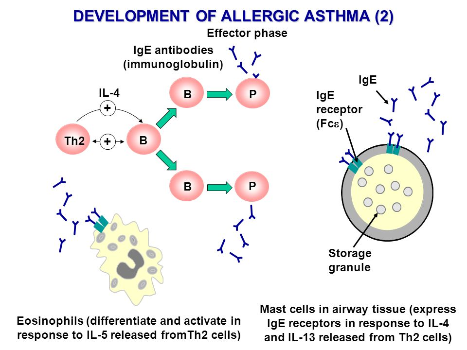 DEVELOPMENT OF ALLERGIC ASTHMA (2) IgE antibodies (immunoglobulin)