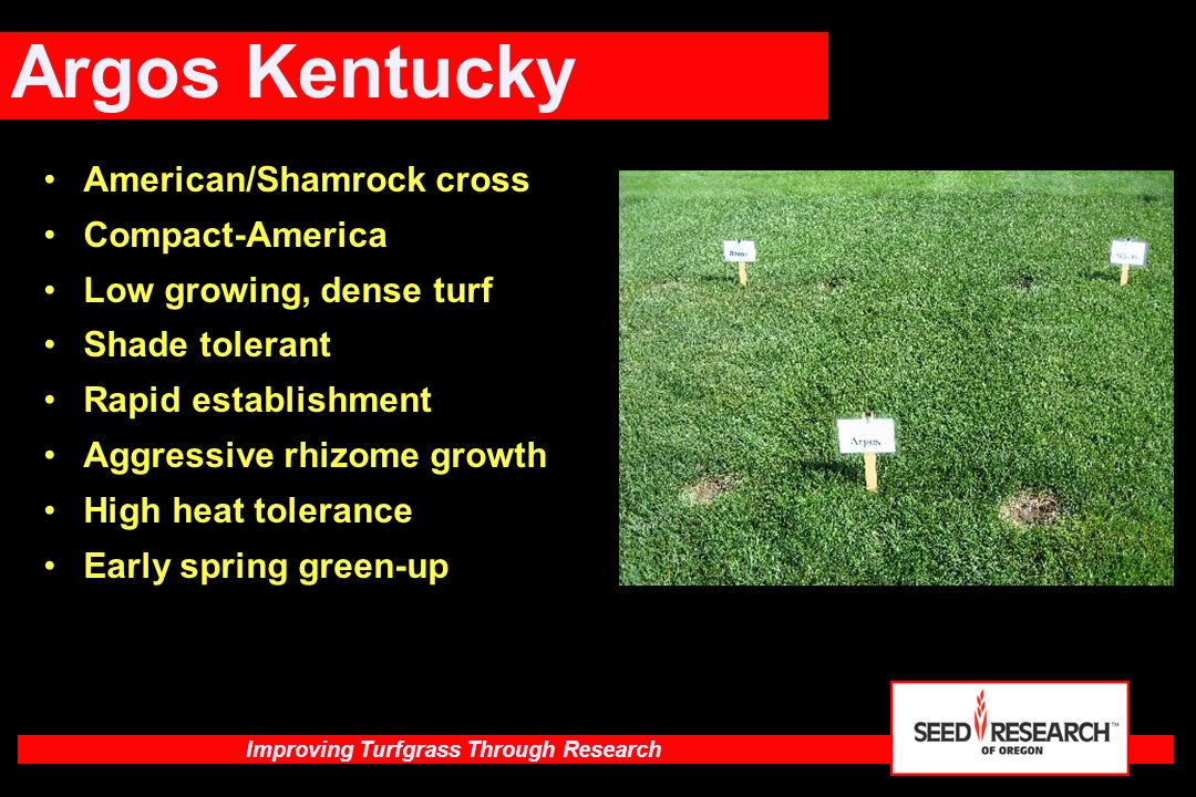 Argos Kentucky American/Shamrock cross Compact-America