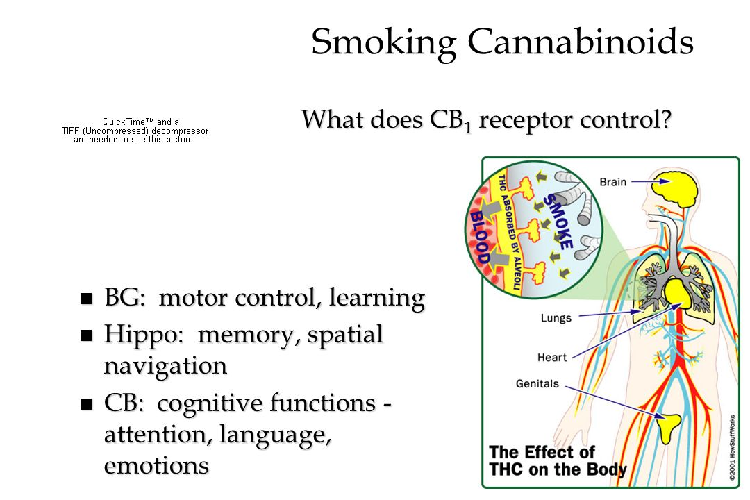 Smoking Cannabinoids What does CB1 receptor control