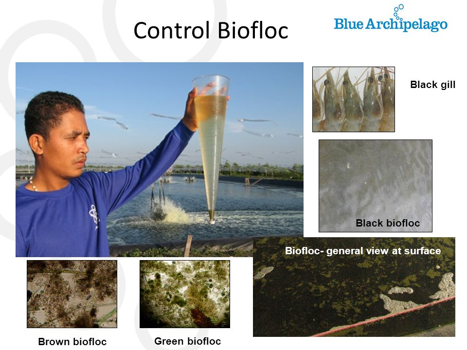 Control Biofloc Black gill Black biofloc