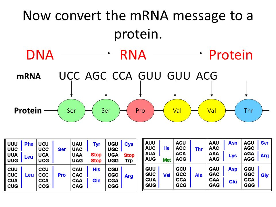 Now convert the mRNA message to a protein.