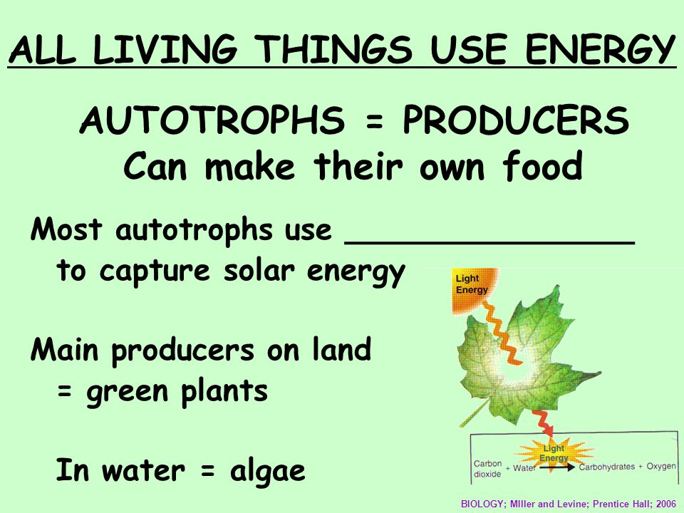 AUTOTROPHS = PRODUCERS Can make their own food