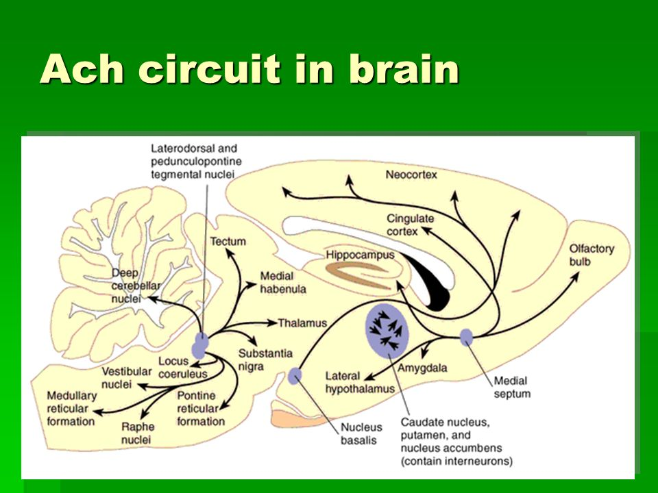 Ach circuit in brain