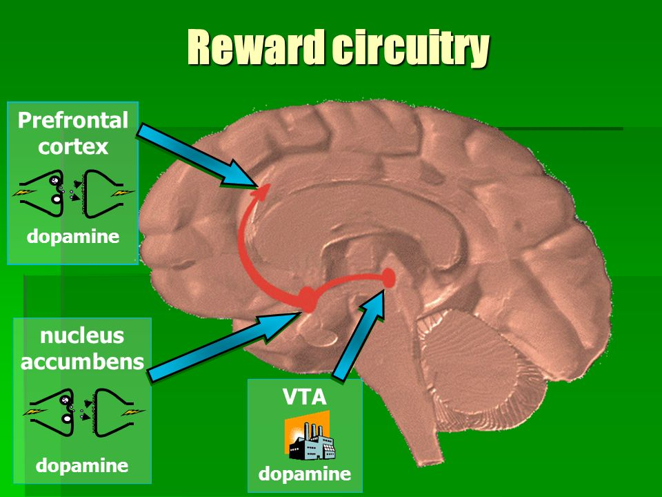 Reward circuitry Prefrontal cortex nucleus accumbens VTA dopamine