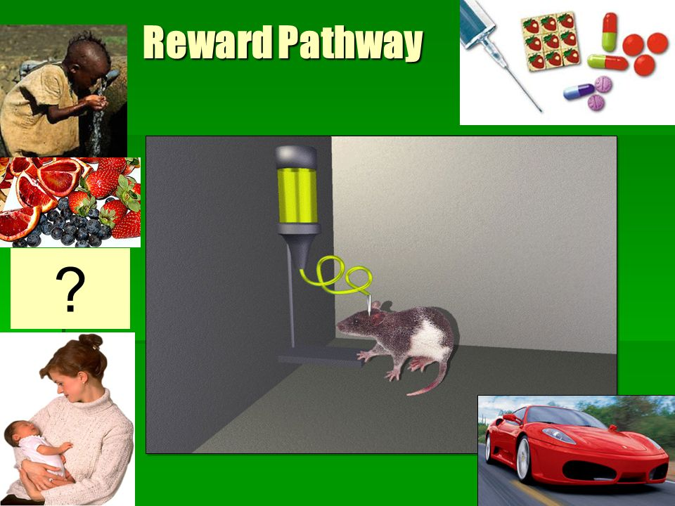 Reward Pathway SLIDE 17: How the reward pathway was discovered: