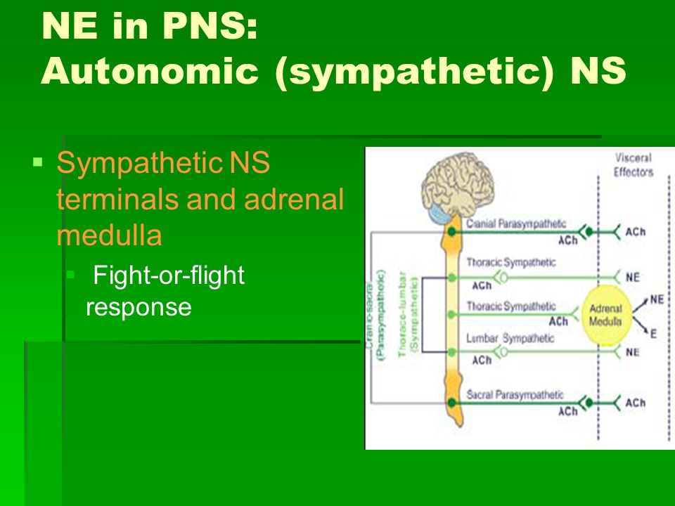 NE in PNS: Autonomic (sympathetic) NS