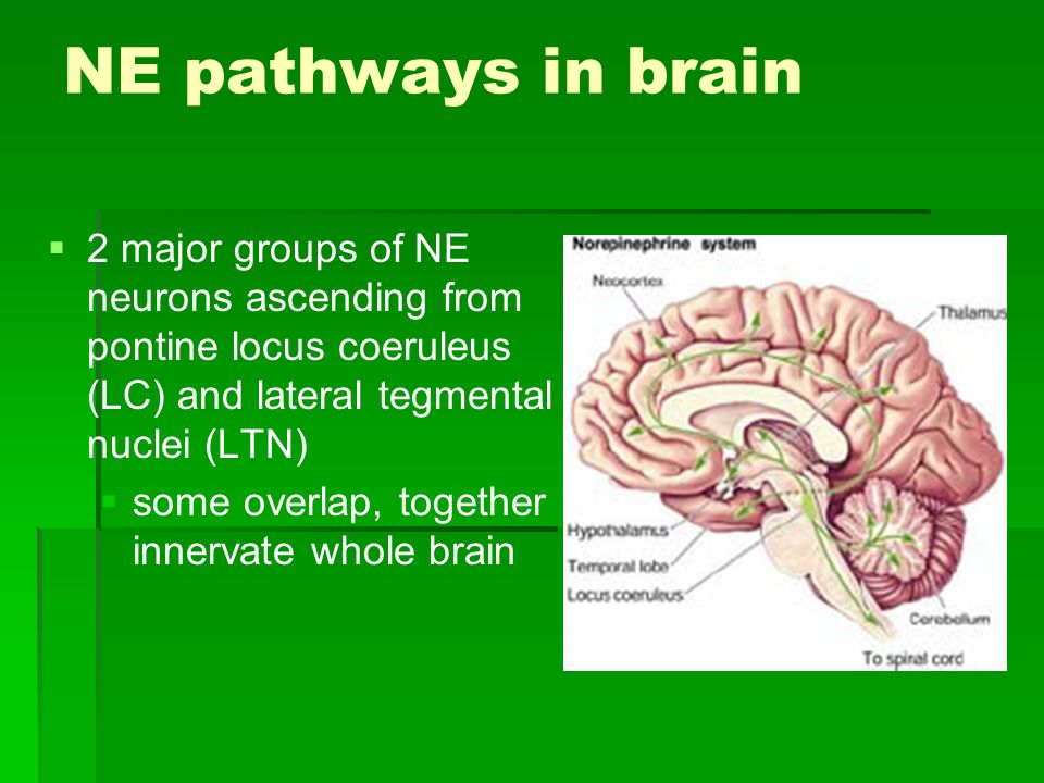NE pathways in brain 2 major groups of NE neurons ascending from pontine locus coeruleus (LC) and lateral tegmental nuclei (LTN)