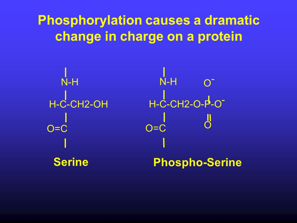 Phosphorylation causes a dramatic change in charge on a protein