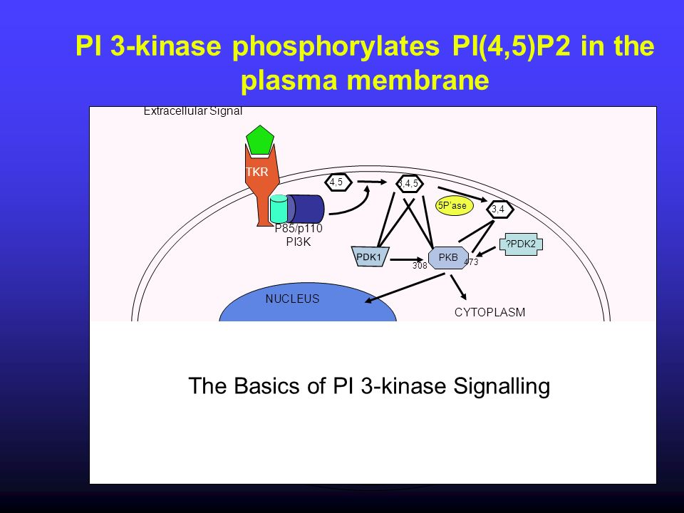 PI 3-kinase phosphorylates PI(4,5)P2 in the plasma membrane