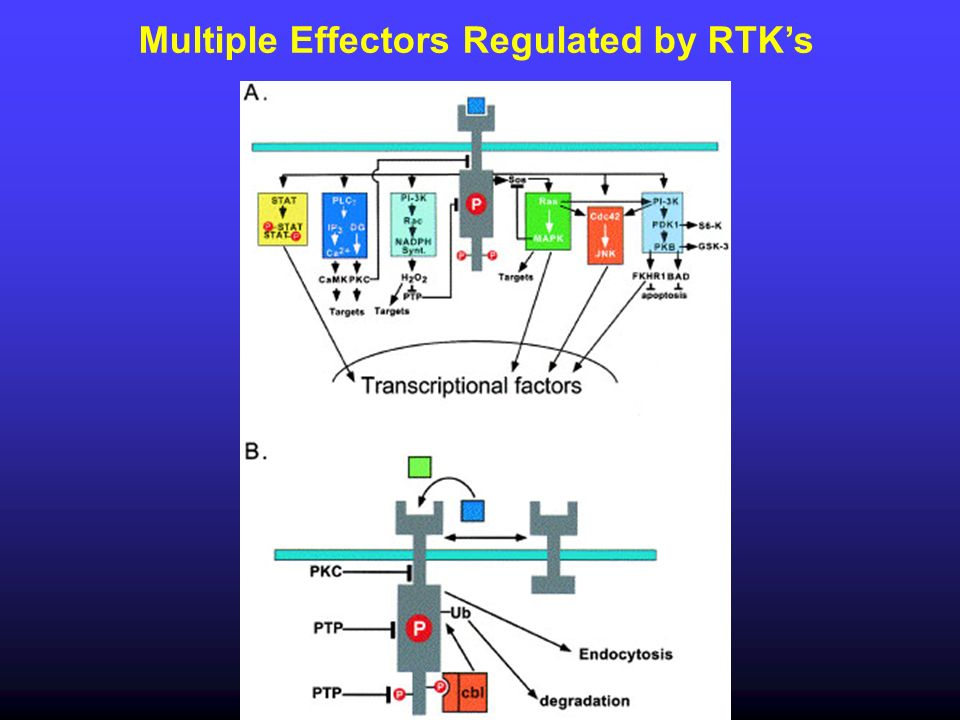 Multiple Effectors Regulated by RTK's