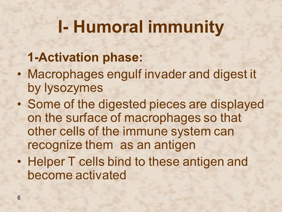 I- Humoral immunity 1-Activation phase: