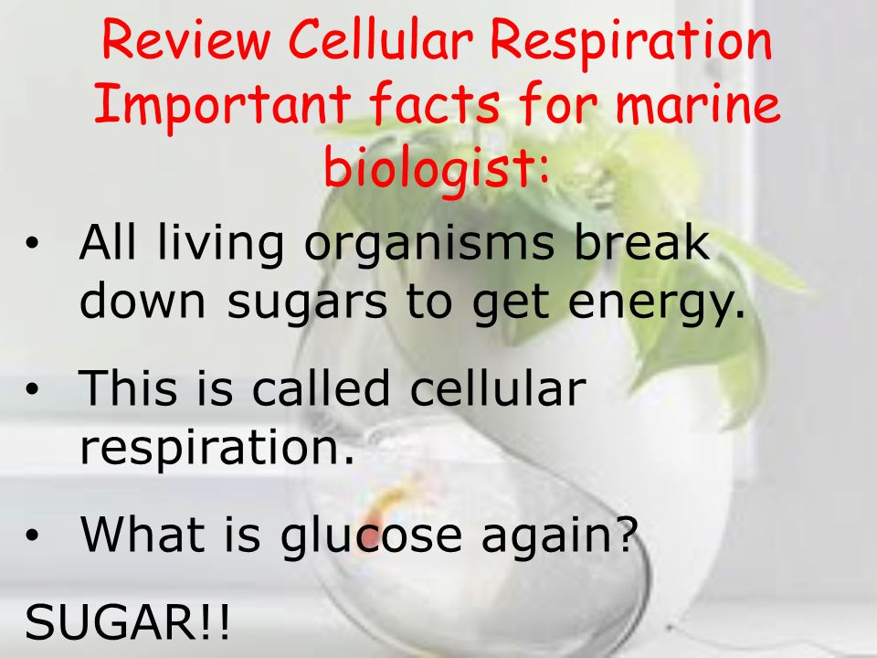 Review Cellular Respiration Important facts for marine biologist: