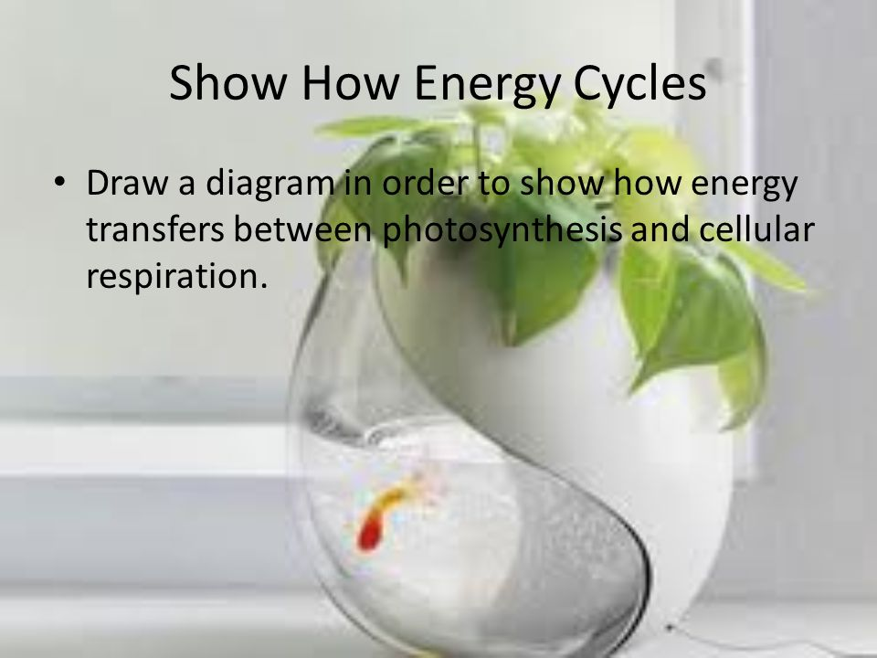 Show How Energy Cycles Draw a diagram in order to show how energy transfers between photosynthesis and cellular respiration.