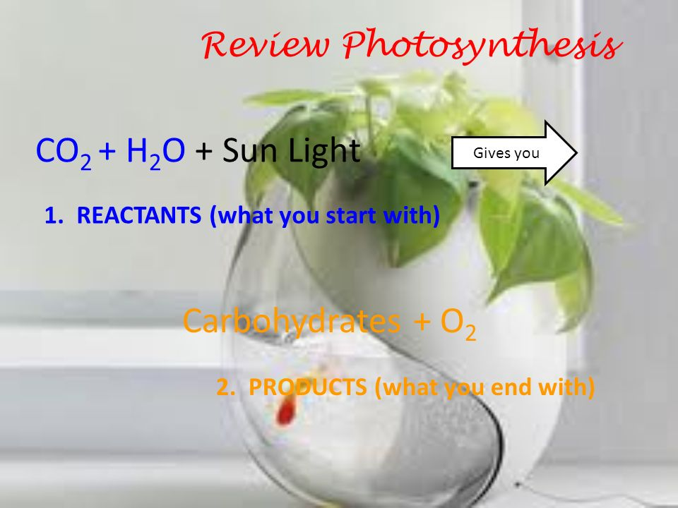 CO2 + H2O + Sun Light Carbohydrates + O2 Review Photosynthesis
