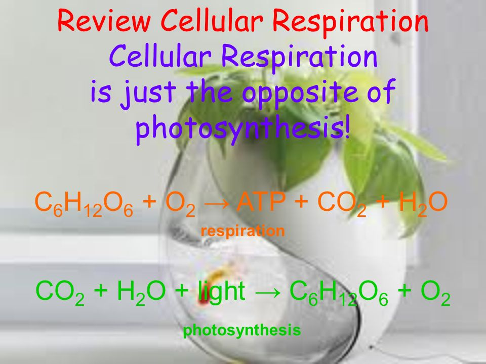 Review Cellular Respiration Cellular Respiration