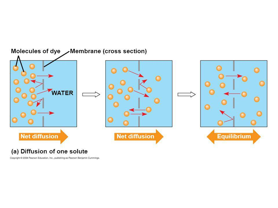 Molecules of dye Membrane (cross section) WATER. Net diffusion.