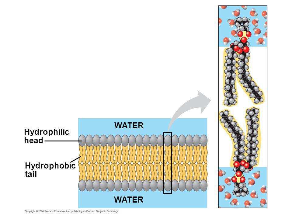 WATER Hydrophilic head Hydrophobic tail WATER