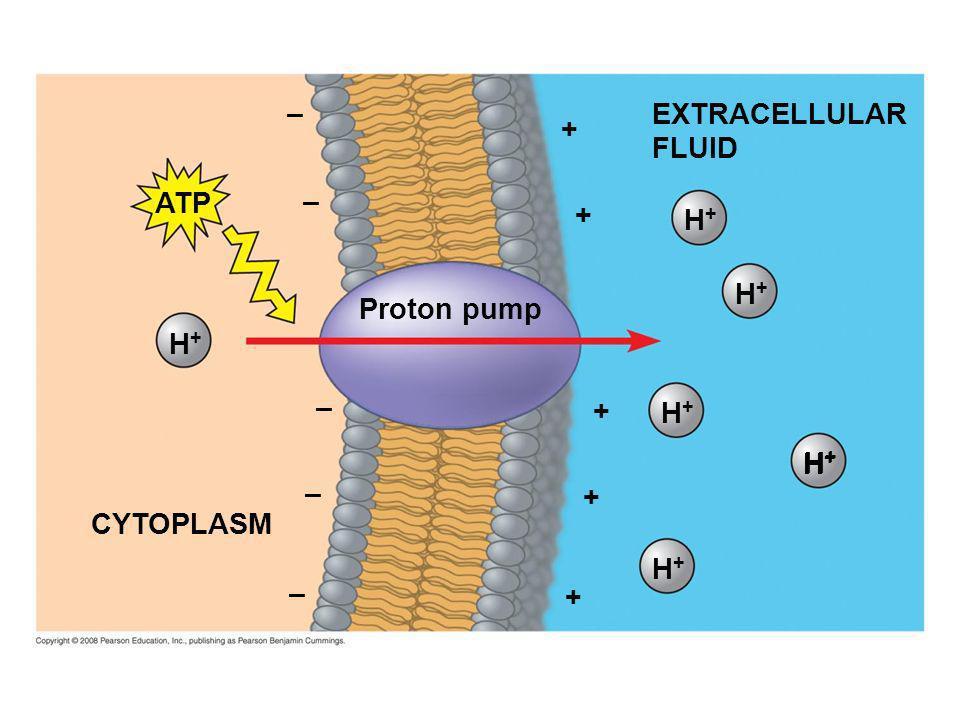 – EXTRACELLULAR FLUID + ATP – + H+ H+ Proton pump H+ – + H+ H+ H+ – + CYTOPLASM H+ – +