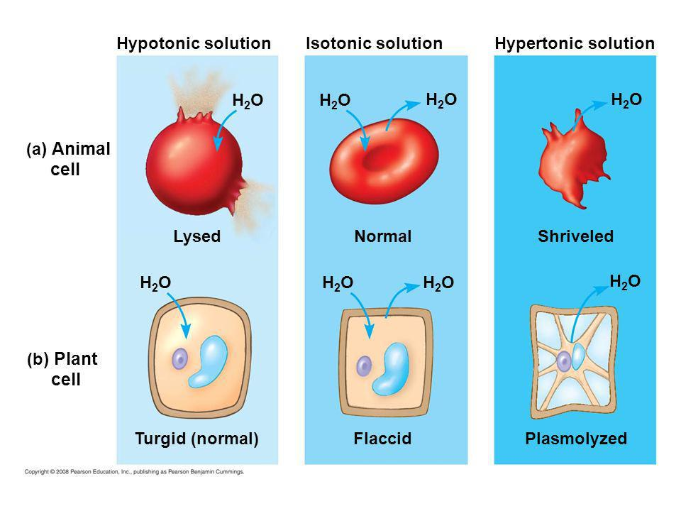 cell cell Hypotonic solution Isotonic solution Hypertonic solution H2O