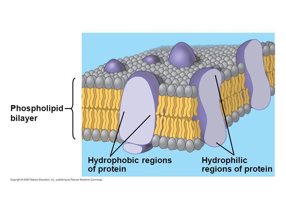 Phospholipid bilayer Hydrophobic regions of protein Hydrophilic regions of protein