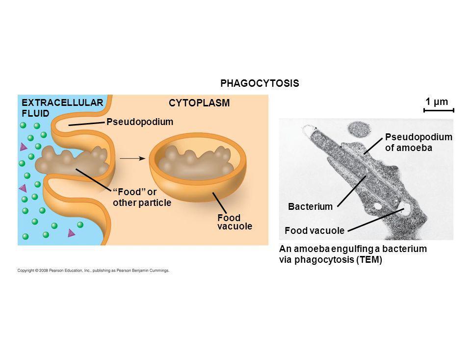 PHAGOCYTOSIS CYTOPLASM 1 µm EXTRACELLULAR FLUID Pseudopodium