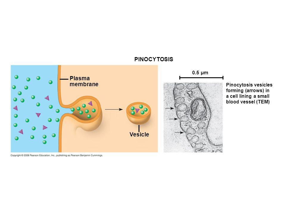 PINOCYTOSIS Plasma membrane Vesicle 0.5 µm Pinocytosis vesicles