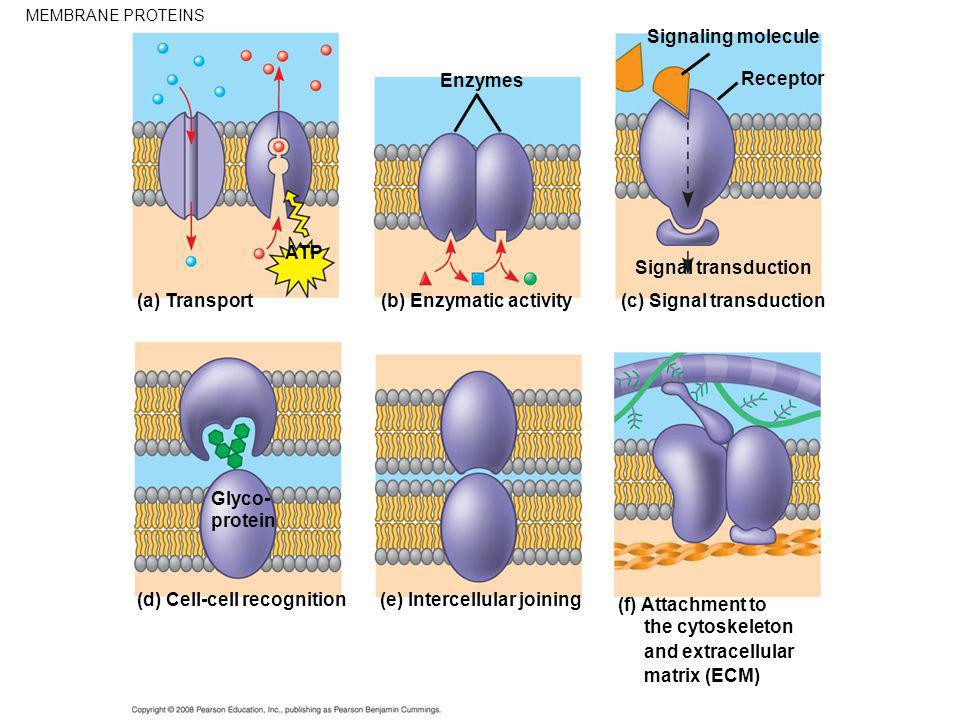 (b) Enzymatic activity (c) Signal transduction