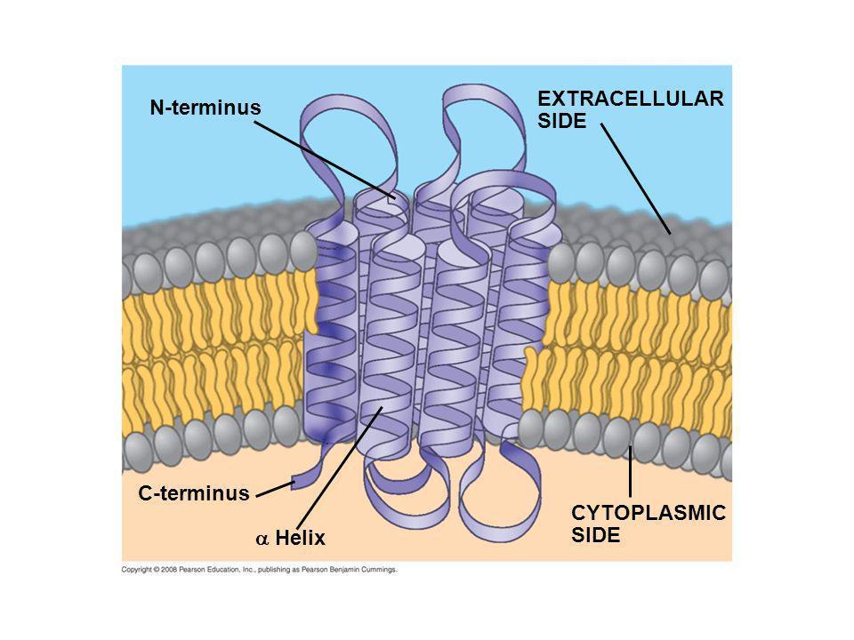 EXTRACELLULAR SIDE N-terminus C-terminus CYTOPLASMIC SIDE  Helix