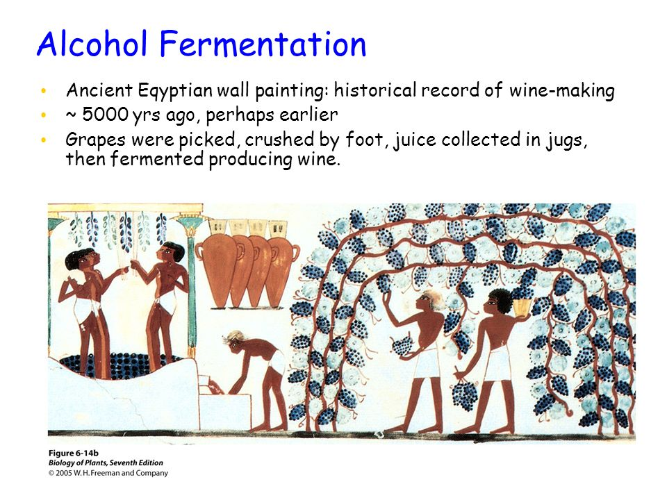 Alcohol Fermentation Ancient Eqyptian wall painting: historical record of wine-making. ~ 5000 yrs ago, perhaps earlier.