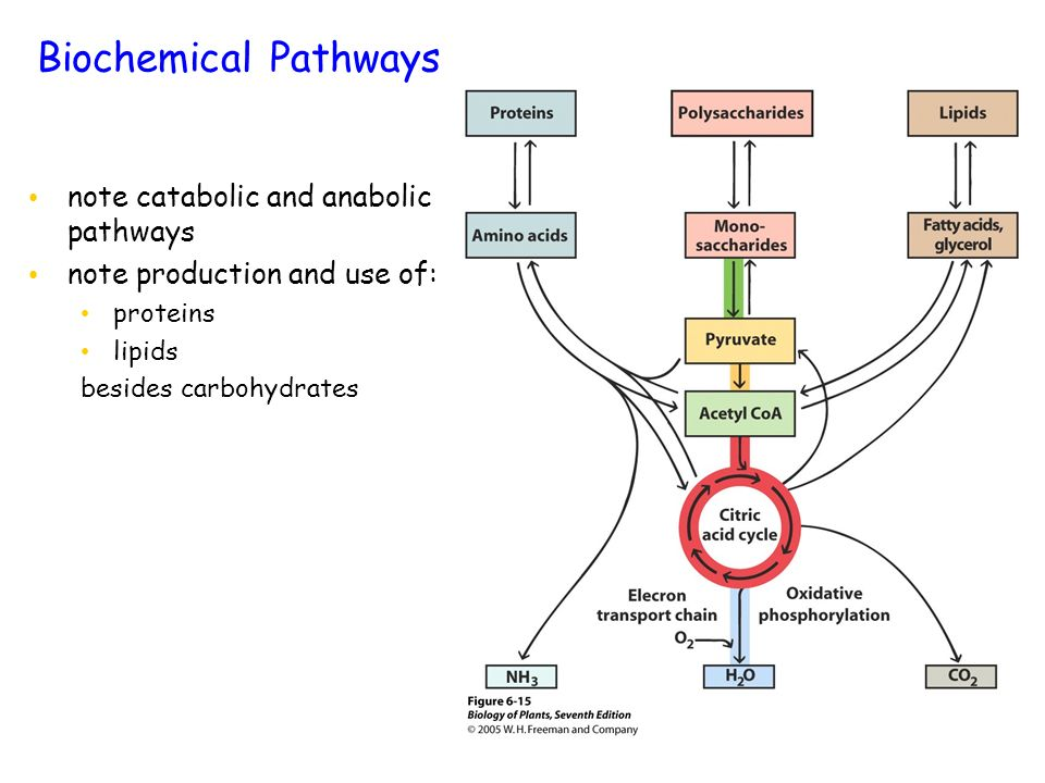 Biochemical Pathways note catabolic and anabolic pathways