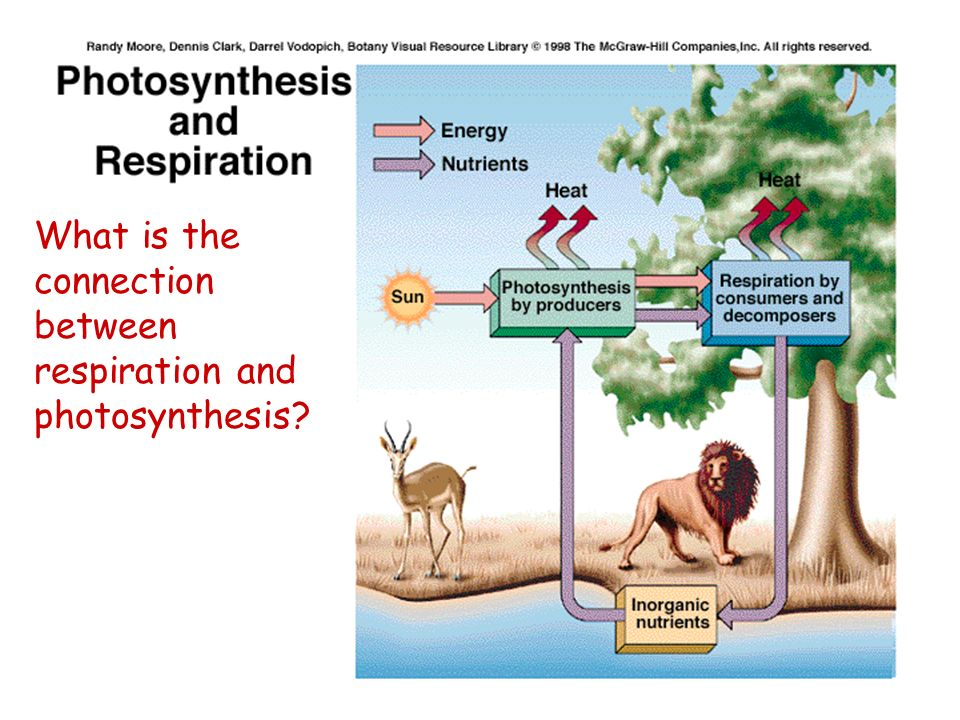 What is the connection between respiration and photosynthesis