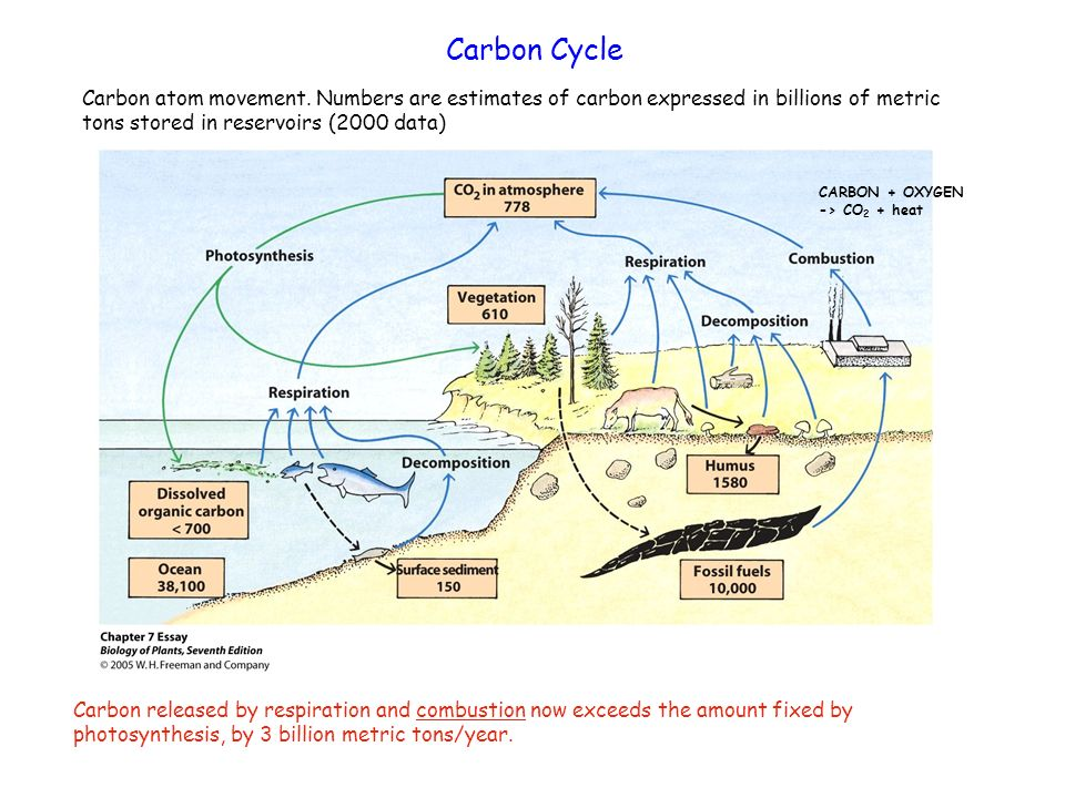 Carbon CycleCarbon atom movement. Numbers are estimates of carbon expressed in billions of metric tons stored in reservoirs (2000 data)