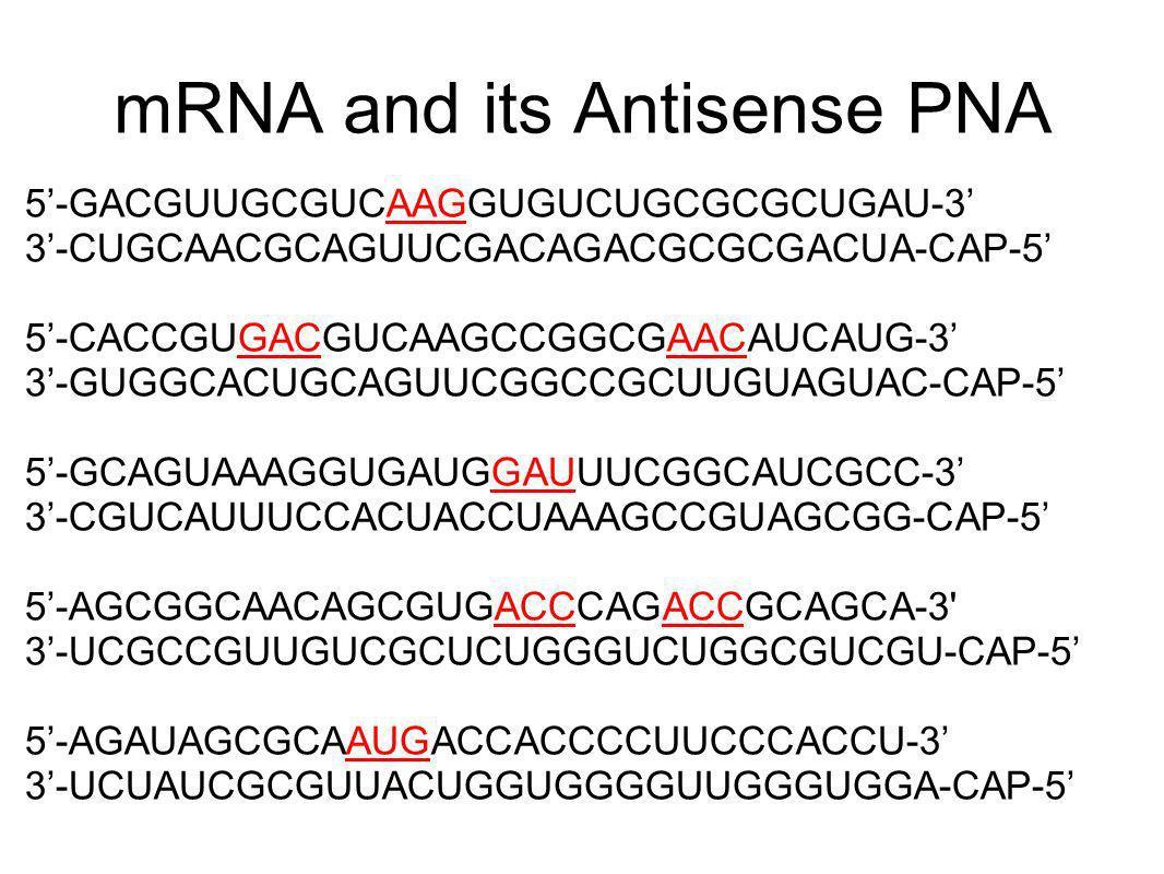 mRNA and its Antisense PNA