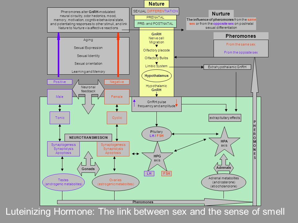 Luteinizing Hormone: The link between sex and the sense of smell