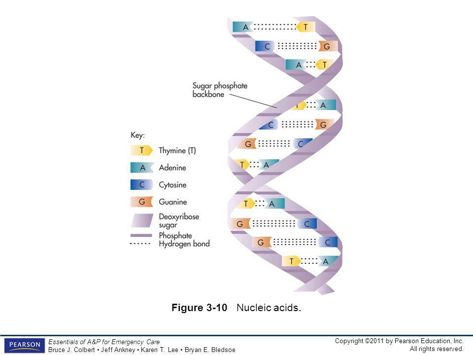Figure 3-10 Nucleic acids.