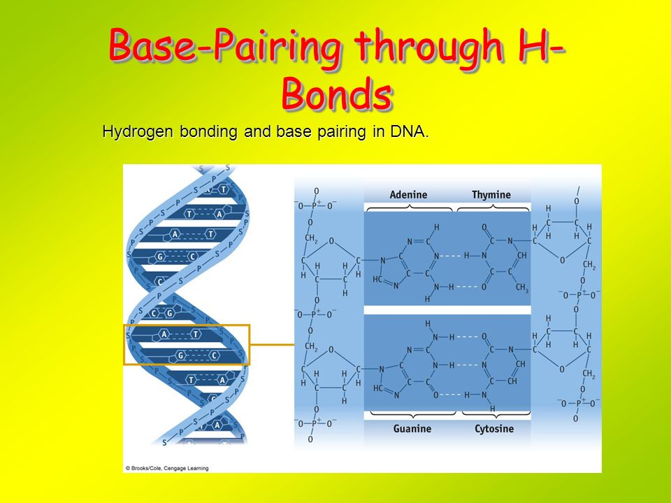 Base-Pairing through H-Bonds