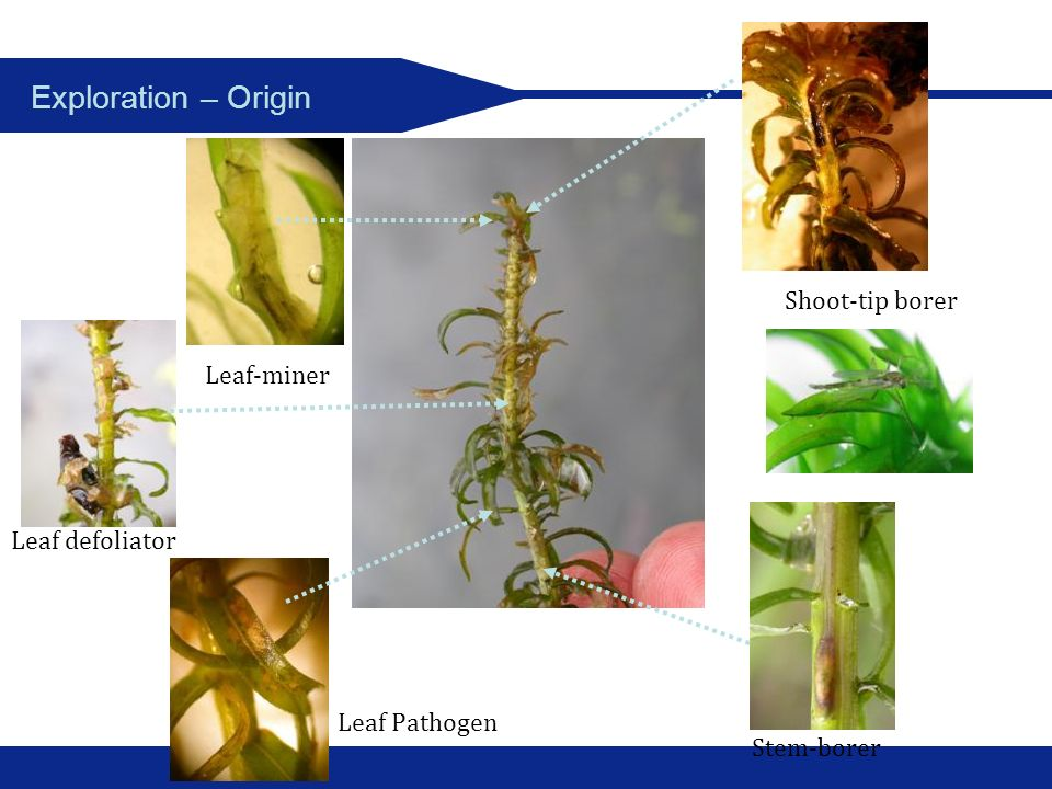 Exploration – Origin Shoot-tip borer Leaf-miner Leaf defoliator
