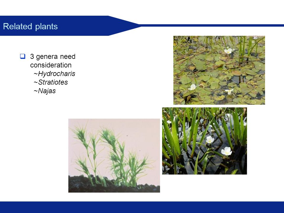 Related plants 3 genera need consideration ~Hydrocharis ~Stratiotes