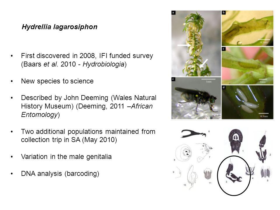 Hydrellia lagarosiphon
