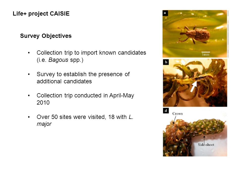 Life+ project CAISIE Survey Objectives. Collection trip to import known candidates (i.e. Bagous spp.)