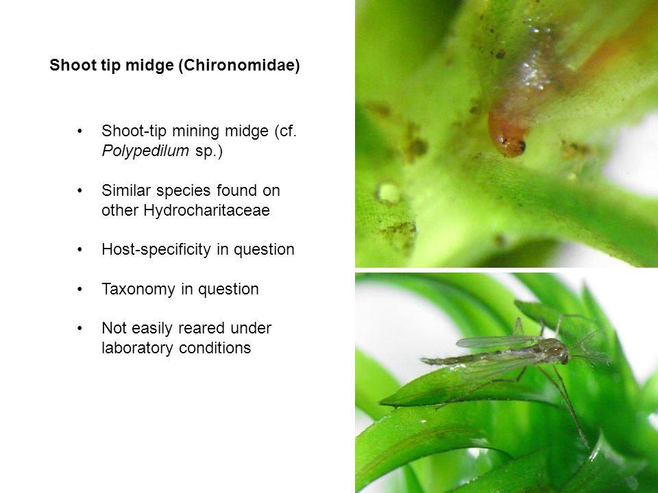 Shoot tip midge (Chironomidae)