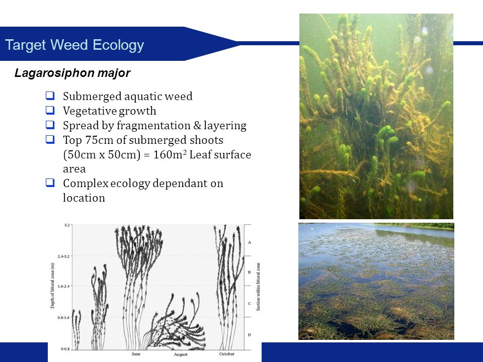 Target Weed Ecology Lagarosiphon major Submerged aquatic weed