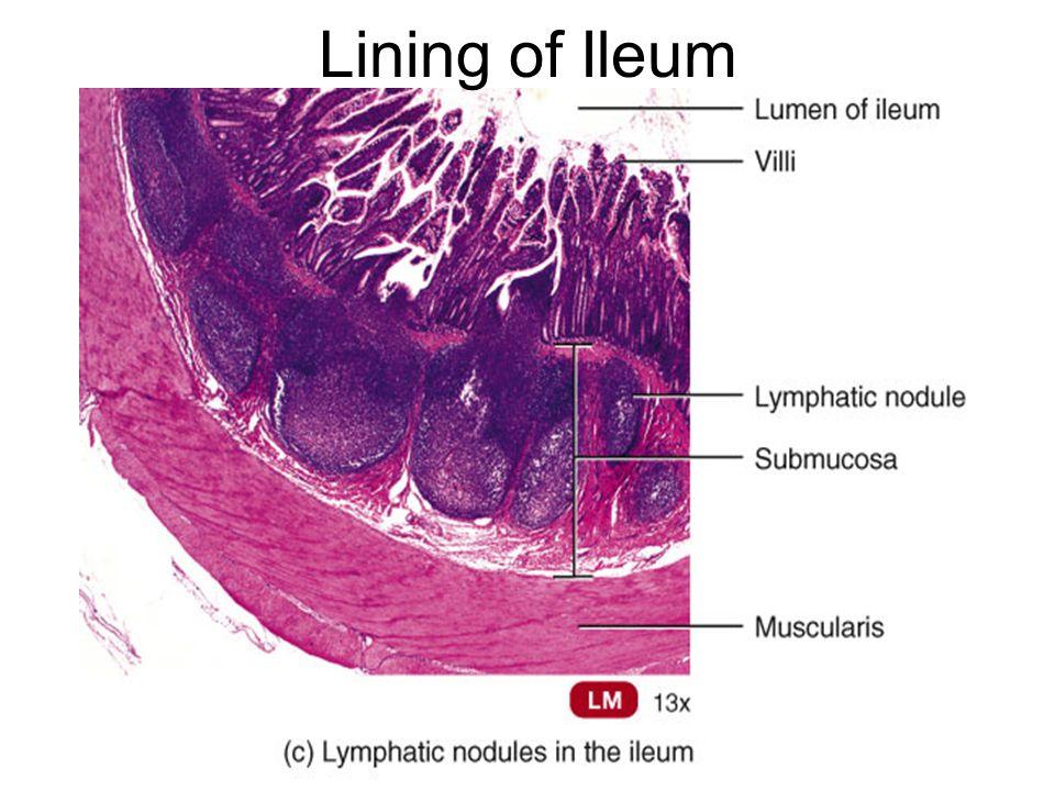 Lining of Ileum
